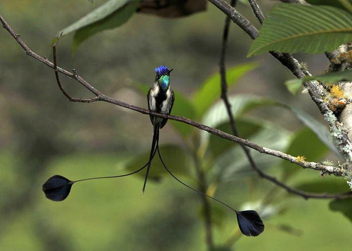 колибри из Перу