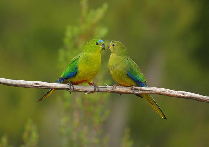 оранжево-брюхие попугаи