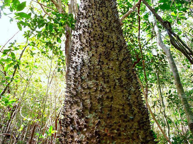 хура взрывающаяся, ядовитая (динамитное дерево)