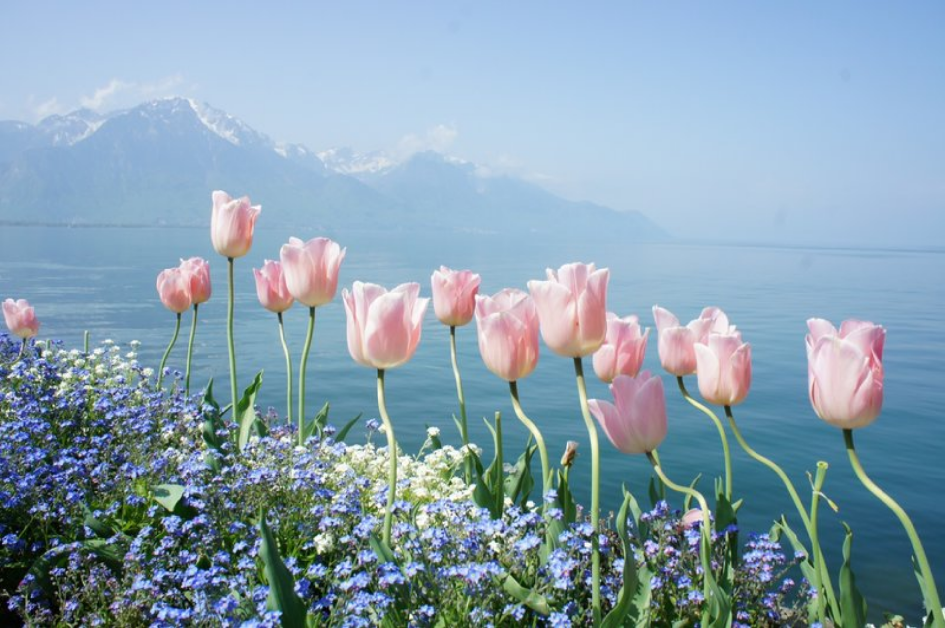 В естественной природе тюльпаны смотрятся намного интереснее привезённых из магазина охапок или горшков