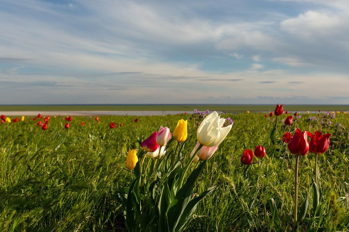 Дикие тюльпаны в степи весной