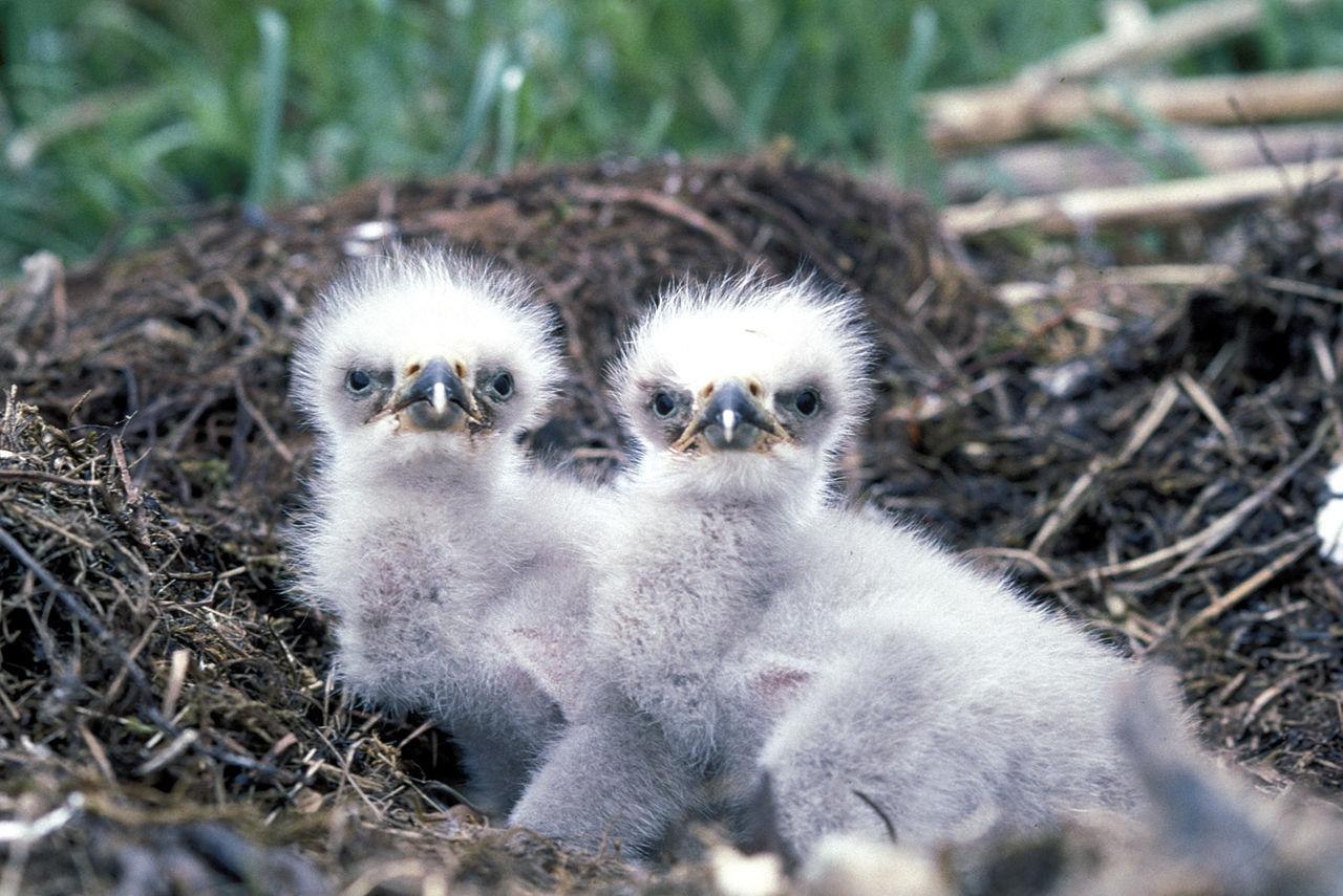 Птенцы белоголового орлана