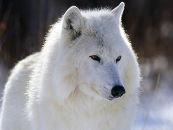 полярный волк_23