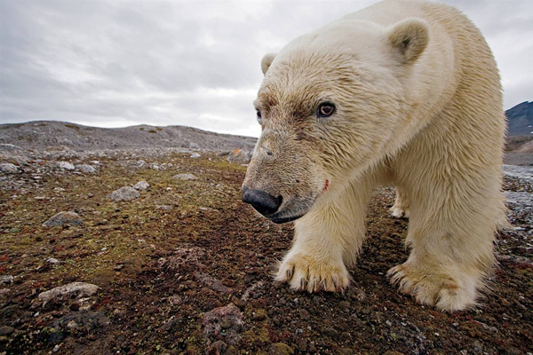 Арктика медведь