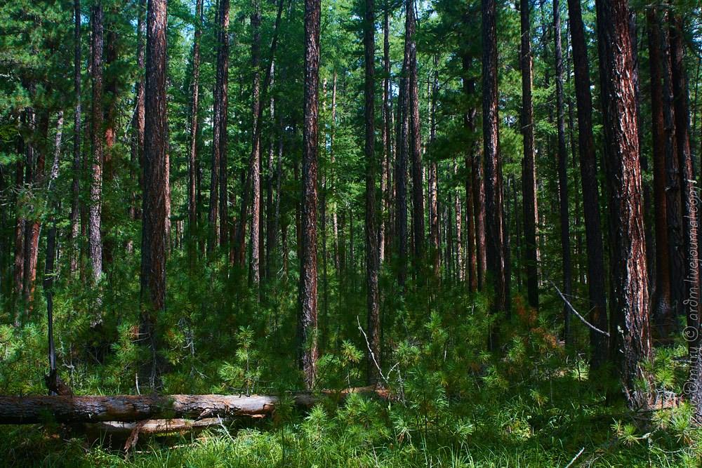 Пригорный лиственничный лес