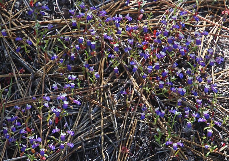 Весенние цветы Сьерры - эти чуть больше хвоинок