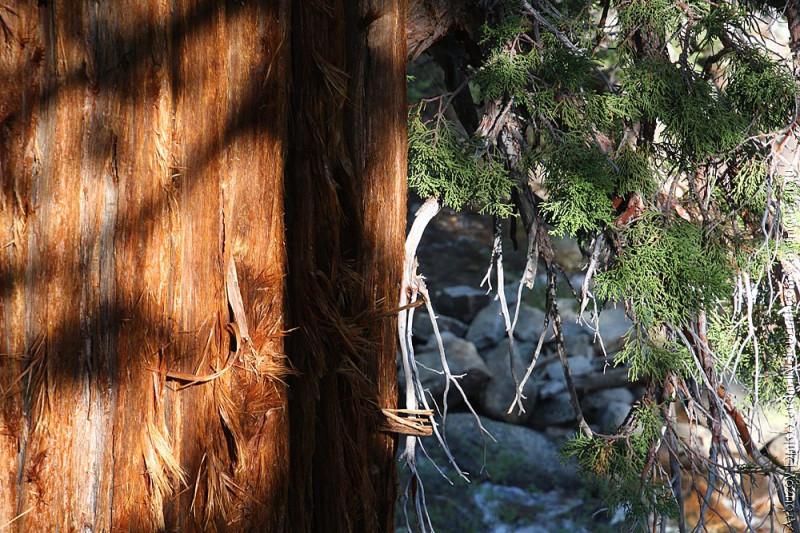 Долина Mono creek. Волосатые деревья,