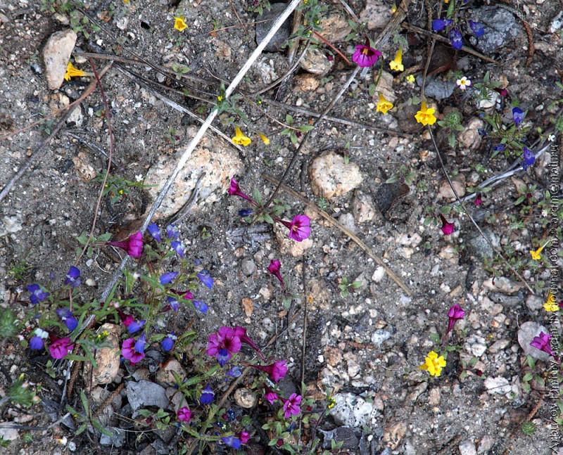 цветение на каменистых участках,