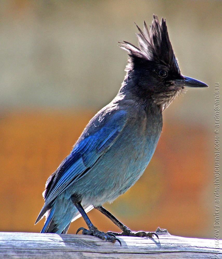 А эта голубая нахалка родственница сороки, но наглая, как ворона