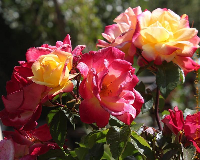Розы Карретеры Аустраль