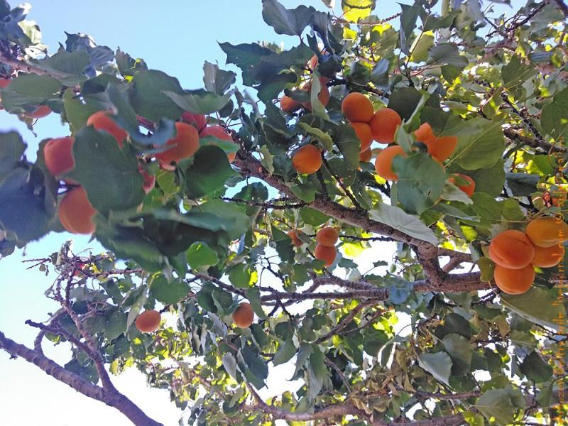 абрикосы в Чили-Чико
