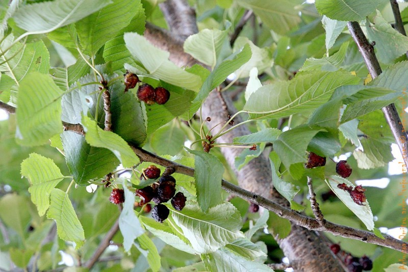 Вяленая черешня на дереве