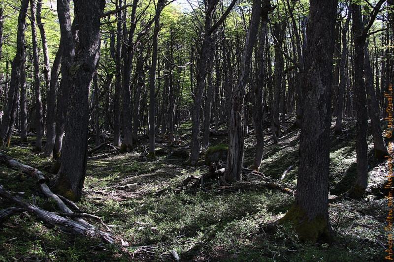 в горном лесу  NP Cerro Castillo