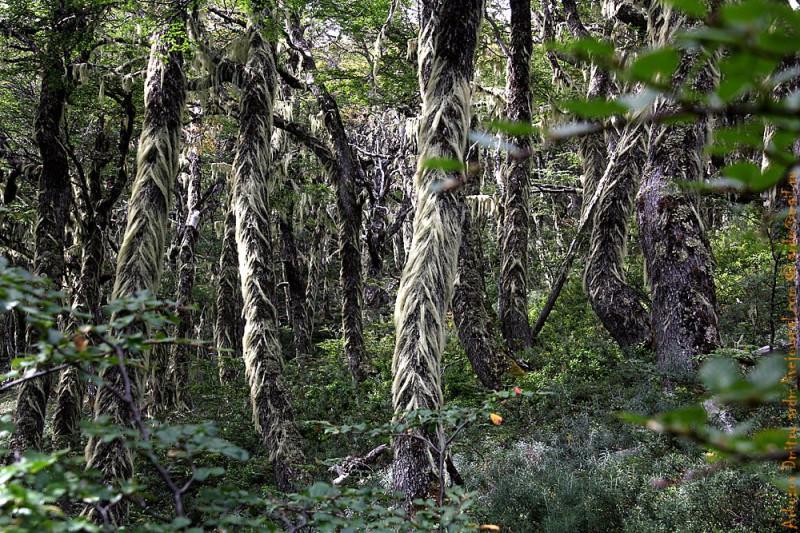 Лохматый лес - это просто чудо Патагонии!