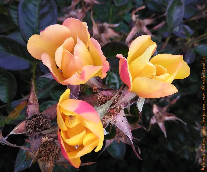 Одна из визитных карточек Карретеры Аустраль это желтые розы, багровеющие по краям.