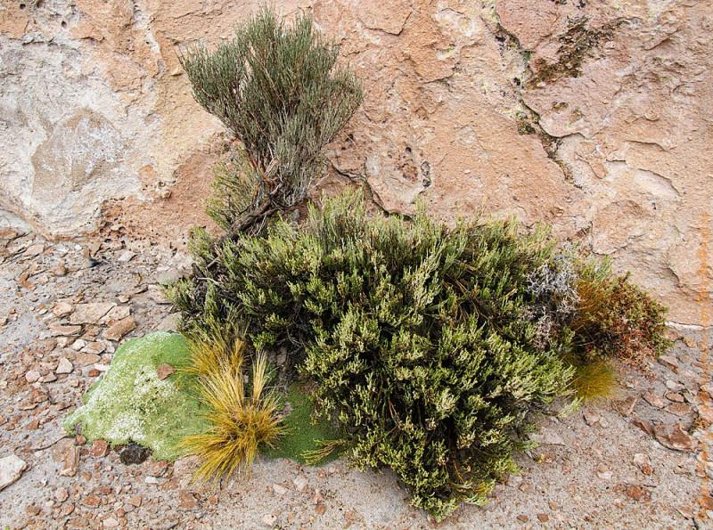 Вот такой вот естественный сад - оазис из высокогорных растений на высоте 4500