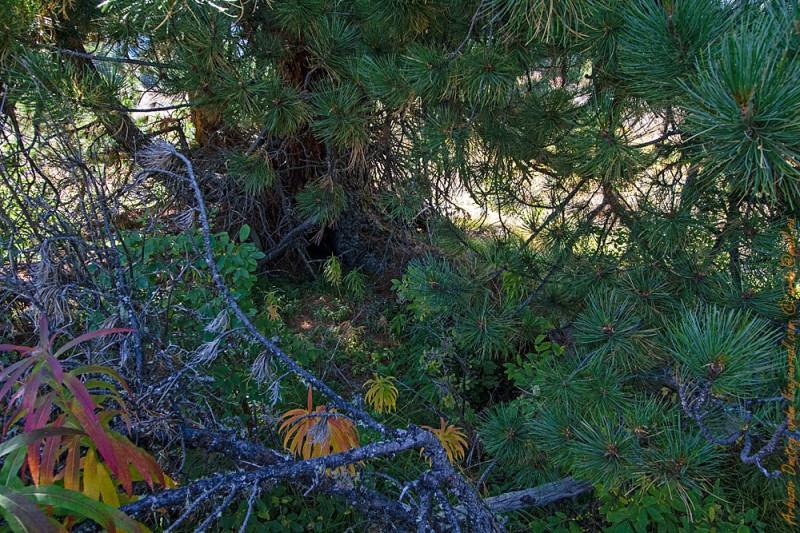 Одинокий кедр и уютный уголок под ним