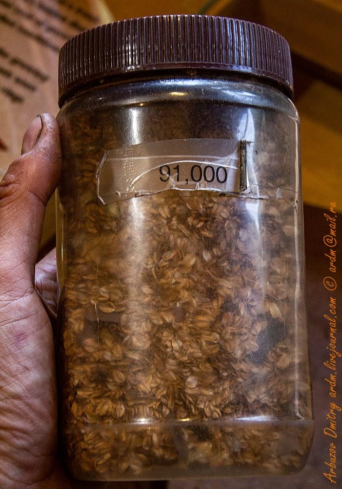 Семян секвойядендрона в одной этой банке