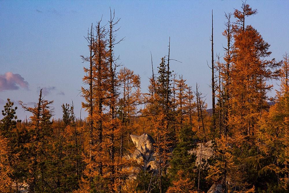 Забайкальские духи выглядывают из лиственничной тайги