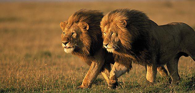 two-male-lions-Kenya-631