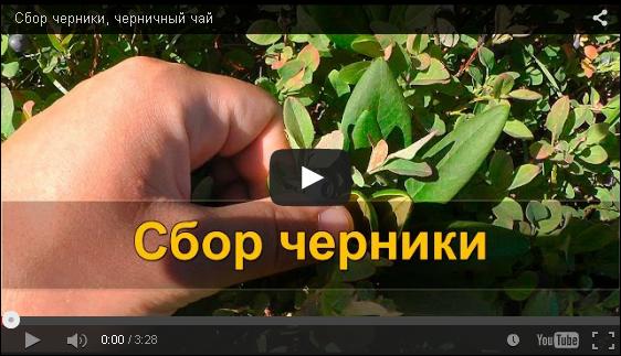 Сбор черники, черничный чай VIDEO