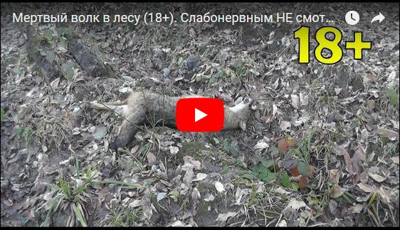 Дохлый волк в лесу VIDEO