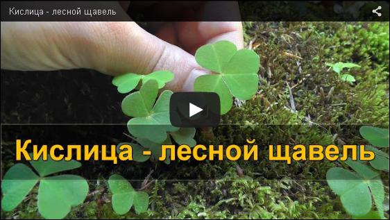 Кислица - лесной щавель VIDEO