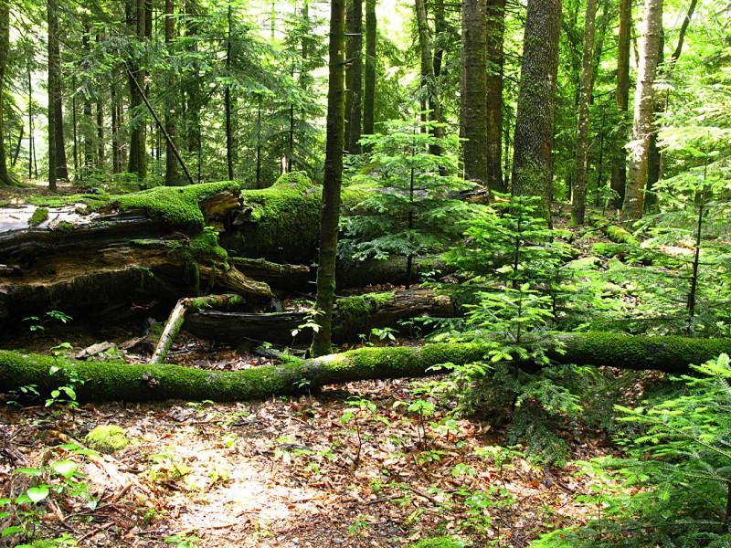 Поселок Гузерипль, пихтовый лес