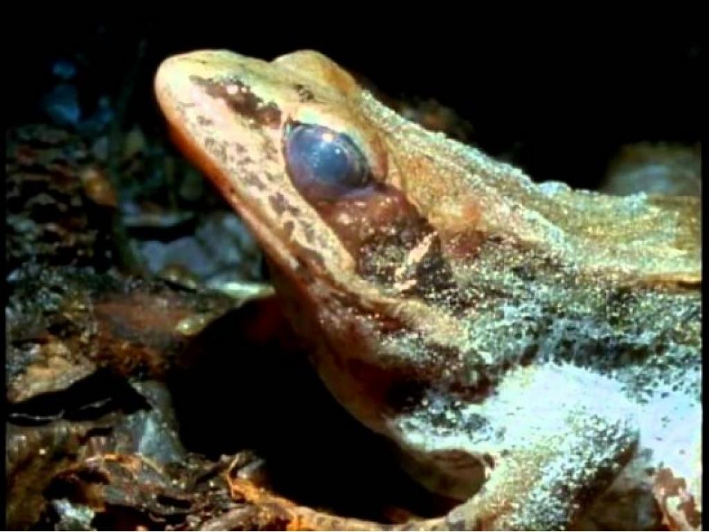 древесная лягушка