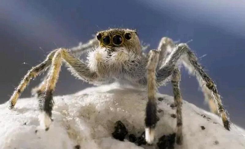 гималайский прыгающий паук