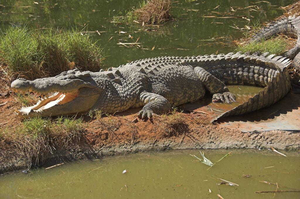 гребнистый крокодил