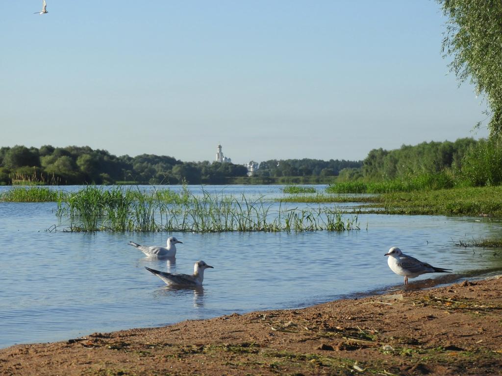 Озёрные чайки с видом на Юрьев монастырь