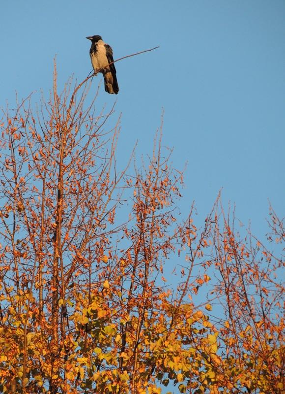 Ворона на закате