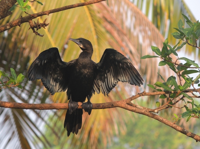 Phalacrocorax niger