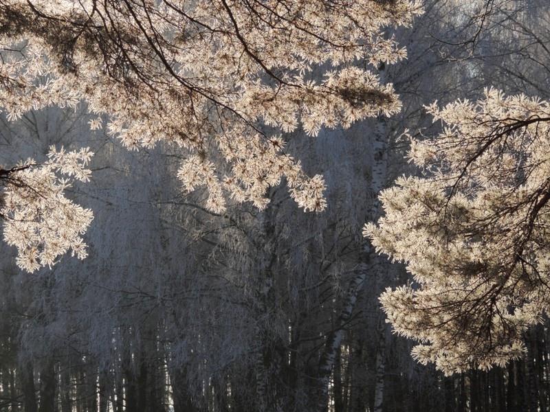 Сосновые ветви