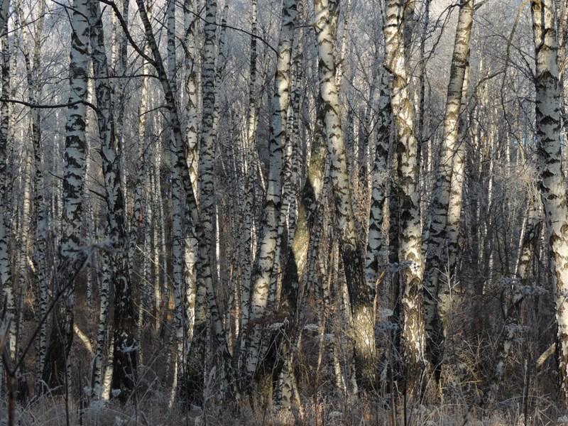 Лес для зебр