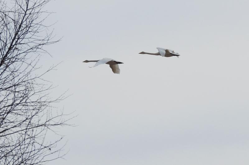 Лебеди-кликуны над краем болота