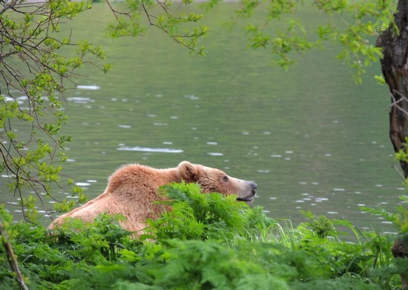 Медведица ждёт нерку