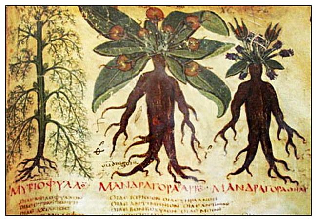 """Изображение мандрагоры из """"Неаполитанский Диоскорид"""" (VII век н.э.)"""