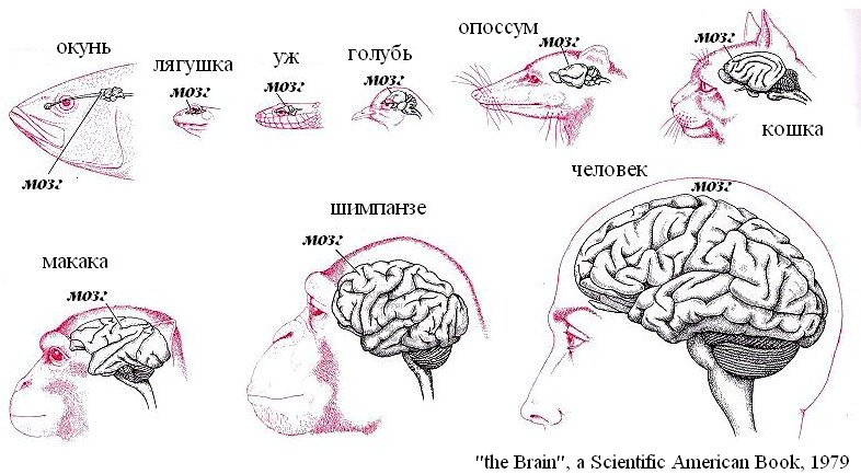 Сравнение размеров мозга представителей животного мира