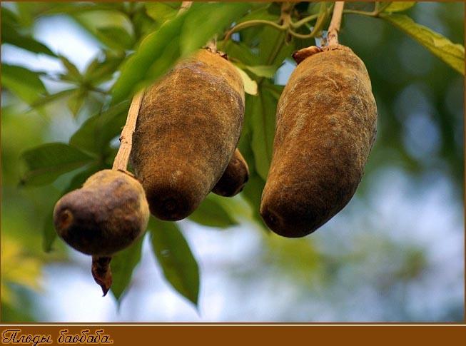 Плоды баобаба. Фото - dona_anna