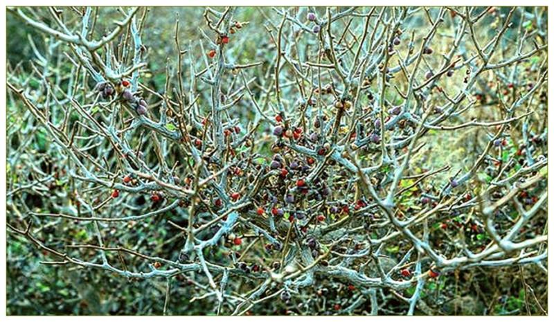 Цветущий куст опобальзама в киббуце Альмог