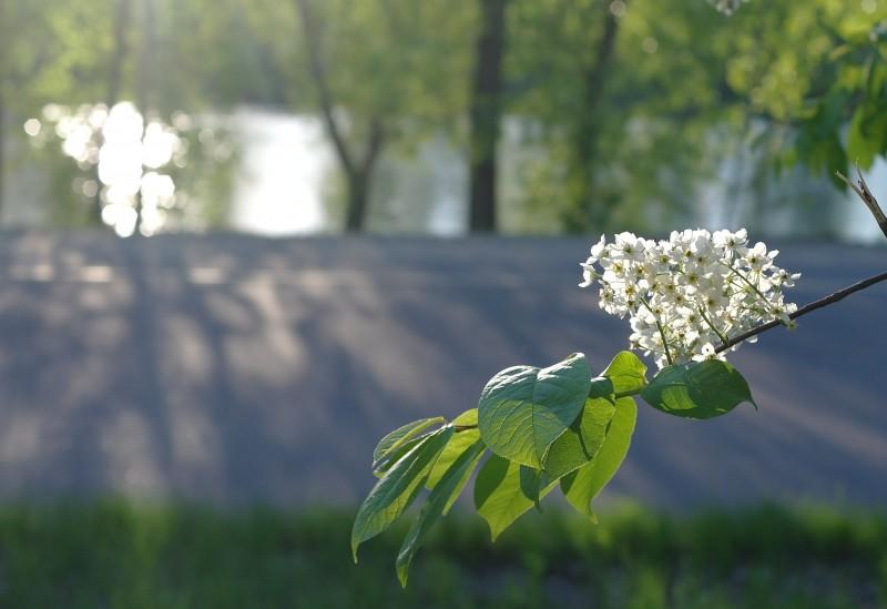 Дорожки острова Татышева, цветет черемуха. За лесополосой сверкает солнце на протоке Татышева.