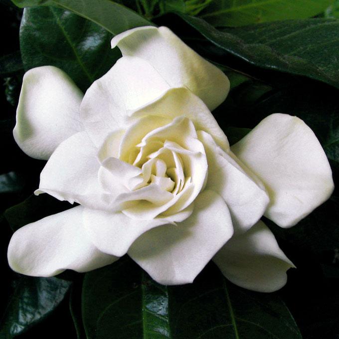Gardenia-foto