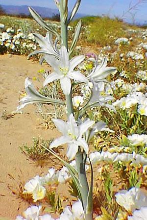 Desert Lily via Wikipedia
