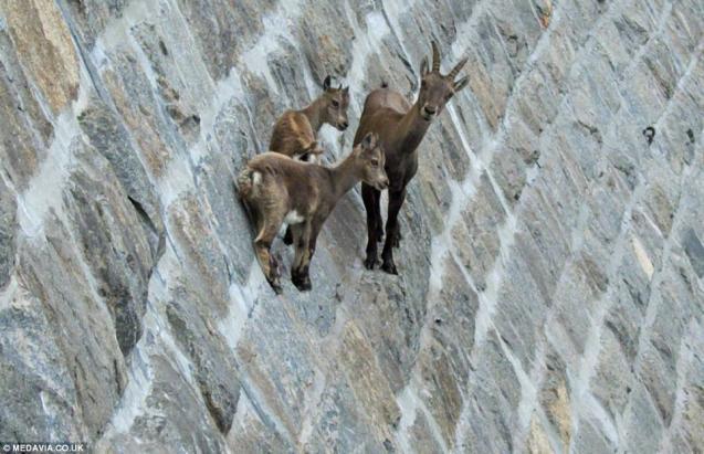 goats-dam-3.jpg