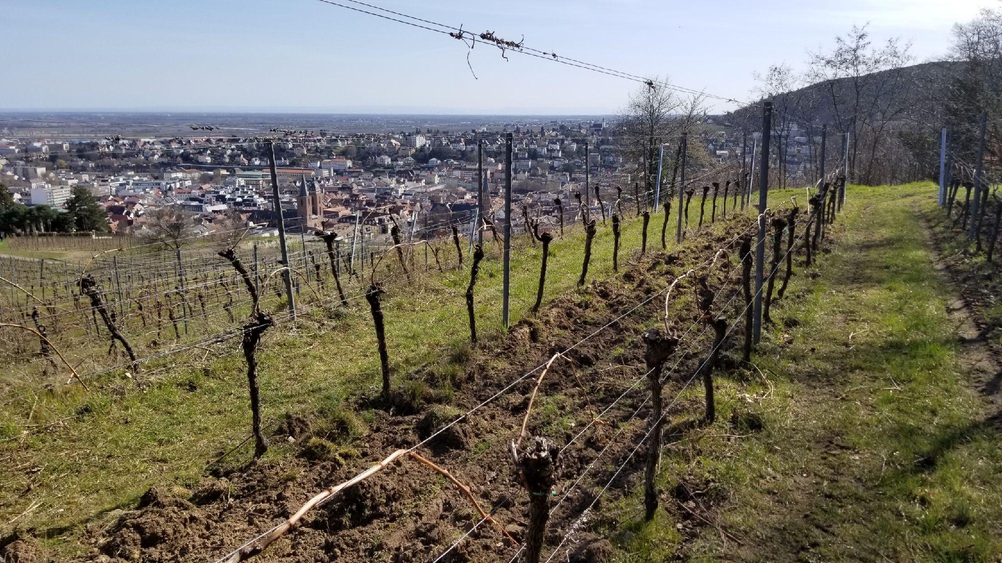 Виноградник над Нойштадтом