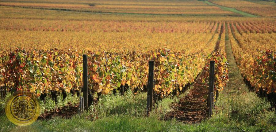 Aloxe-Corton Chaillots Autumn-Automne 1