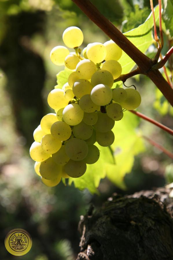 Chardonnay 6