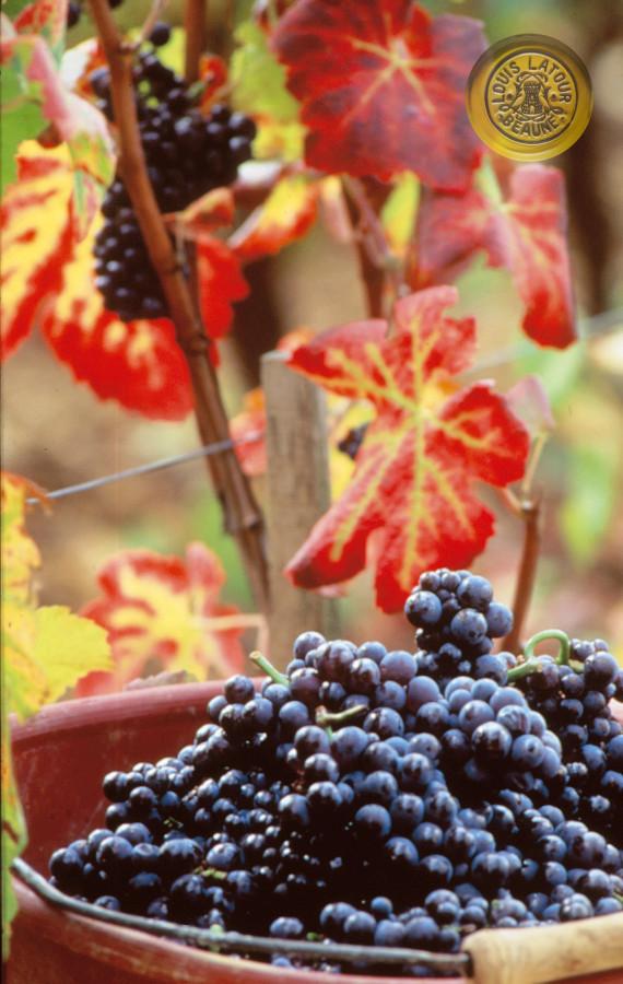 Pinot Noir basket - panier 3